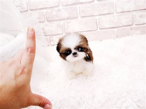 shih tzu for sale dubai teacup shih tzu microshihtzu 3lbs fully grown could be yours for more details