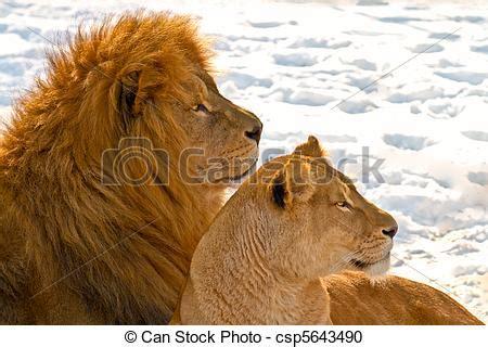 imagenes de leones macho y hembra stock de fotos le 243 n pareja acostado nieve imagenes