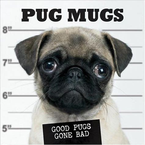 bad pug pugshots looking pugs get mugshots randommization