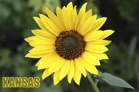 sunflowers in kansas kansas sunflower www imgkid com the image kid has it