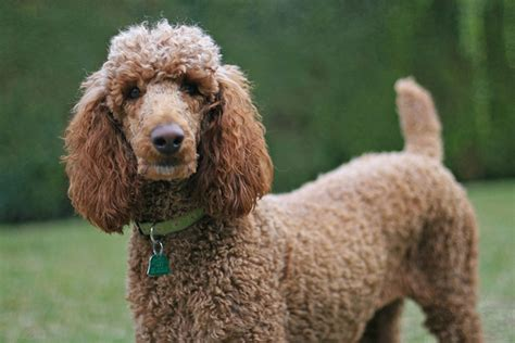 living large breeds 10 smartest large breeds iheartdogs
