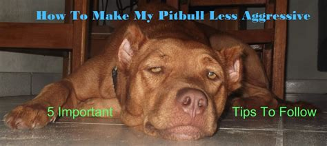 how to your pitbull puppy how to make your pitbull less aggressive pethelpful