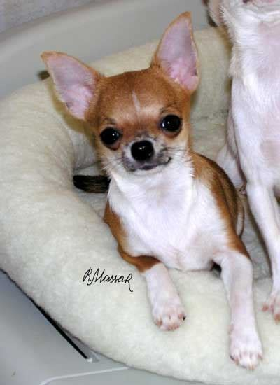 4lb yorkie puppy chihuahua yorkie hybrid the is a 4 lb yorkie breeds breeds picture