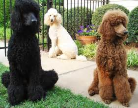 poodle colors what is a quot doodle quot doodle rescue collective inc