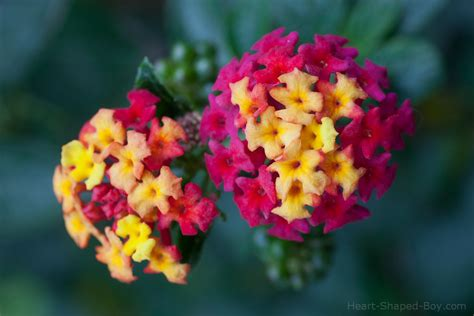 colored flowers multi colored flowers www pixshark images