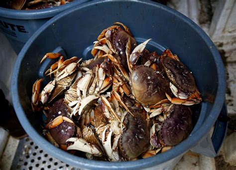 Whats In Season Dungeness Crabs by Dungeness Crab Season To Start Saturday With One Caveat