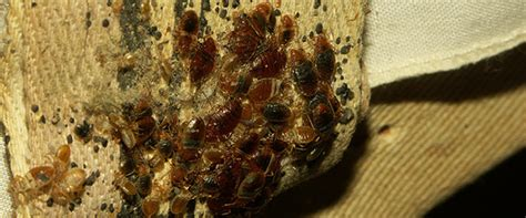 how are bed bugs made how to avoid bed bugs while travelling