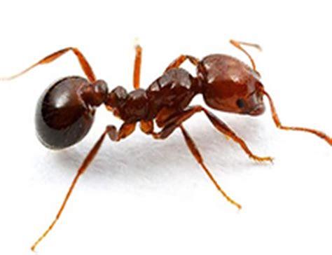 imagenes de hormigas rojas la hormiga de fuego roja es una trotamundos