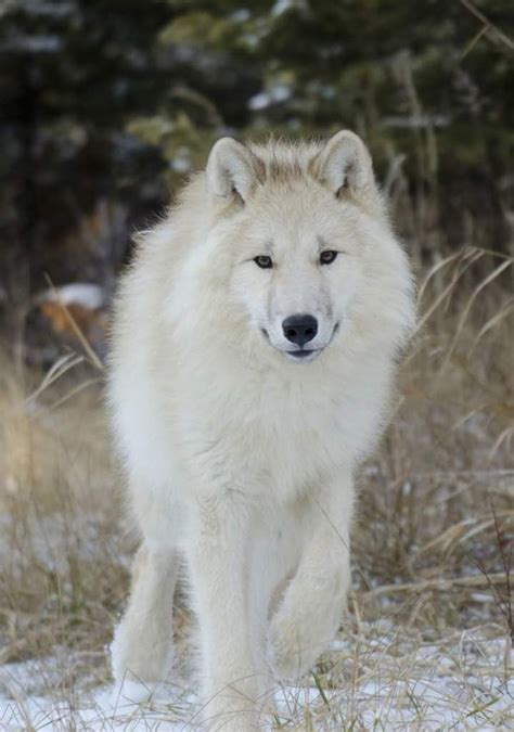 buy wolf puppies best 25 white wolves ideas on wolves arctic wolf and white wolf