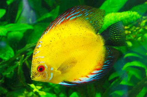 colorful pictures colorful yellow angelfish flickr photo sharing