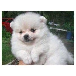 pomeranian breeders orlando best 25 pomeranian breeders ideas on adorable puppies fluffy puppies and