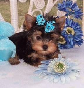 yorkies for adoption in arkansas pets arkadelphia ar free classified ads