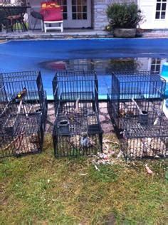gabbie trappola con le gabbie trappola catturavauccellini di specie