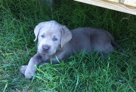 silver lab puppies for sale in wisconsin quality labrador puppy breeds picture