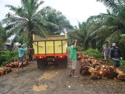 Minyak Kelapa Sawit Saat Ini potensi dan prospek kelapa sawit di indonesia syafruddin m
