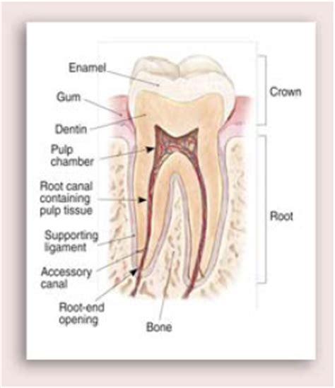 root canal diagram diagram of human teeth roots choice image how to guide