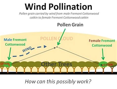 pollination diagram wind pollinated