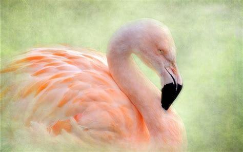 flamingo textured wallpaper flamingo bird texture background wallpapers animals