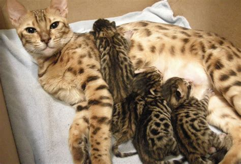 when can you spay a when can you spay a cat after she has kittens cats kittens
