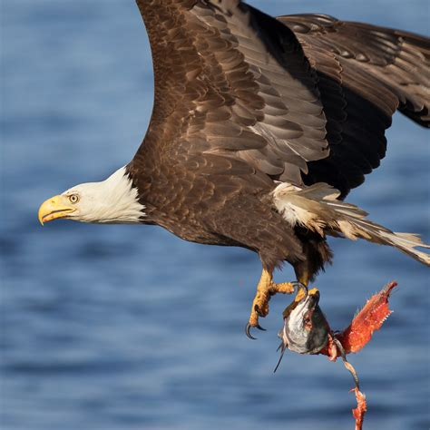 Respond To Bald Brit Madness by Reasons To Vancouver Island In Summer 3 Bald Eagles