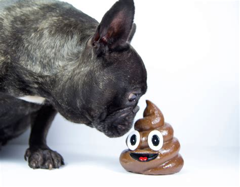 dog behavior pooping in house why dogs eat poop according to science people com