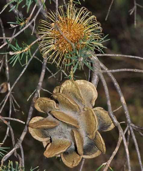 seeds time capsules of 1906506523 17 best images about seeds and pods nuts berries on time capsule shrubs and