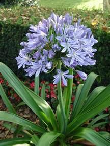 agapanthus garden housecalls
