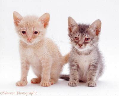 Obat Flu Kucing feline rhinotracheitis penyebab flu pada kucing