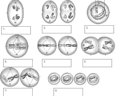 printable mitosis quiz mitosis phases worksheet smart exchange usa sneakerdog s