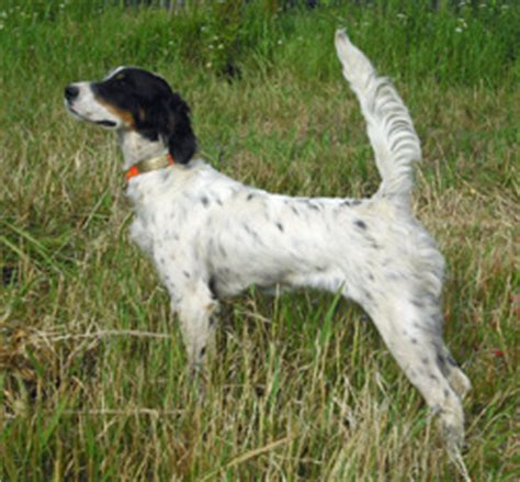 bird dogs for sale pointer bird dogs for sale breeds picture