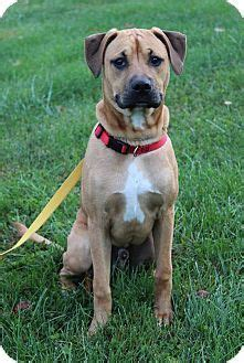 pug and great dane mix 15 boxer cross breeds you ve got to see to believe