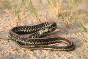 Garter Snake Oklahoma Oklahoma
