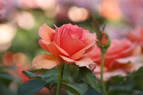 orange rose flower  bloom  daytime  stock photo