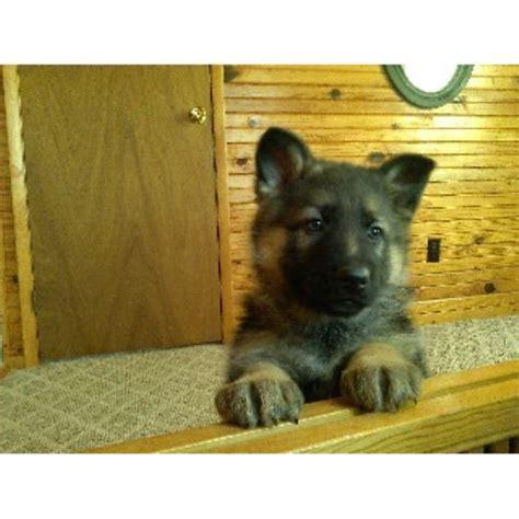 german shepherd puppies in ohio shap haus german shepherd breeder in woodsfield ohio
