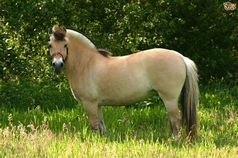 fjord horse for sale uk fjord horse breed information buying advice photos and