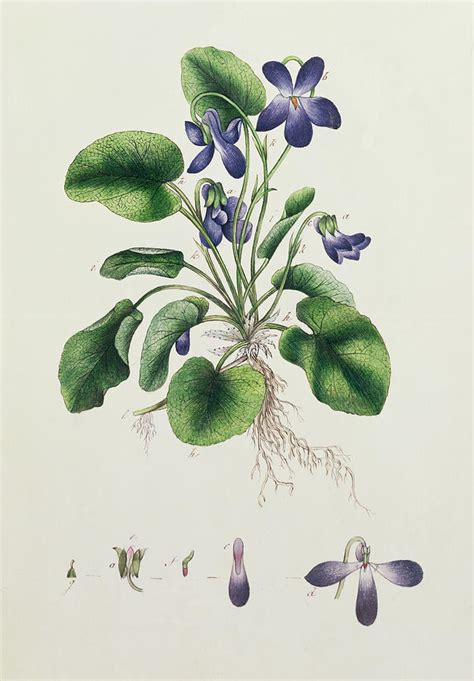 violets painting by english