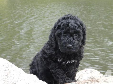 poodle puppies for sale mn akc standard poodle puppies black for sale in clarks grove minnesota classified