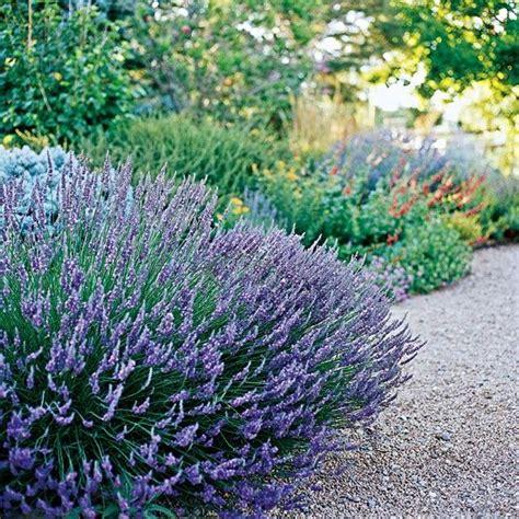 the best drought tolerant perennials lavender garden front terrace petals and outdoor scenes