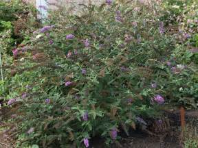 information on when and how to transplant butterfly bushes