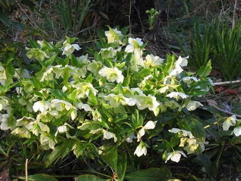white hellebore images