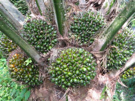 Jual Alat Hidroponik Jambi nasa organik teknik budidaya kelapa sawit organik