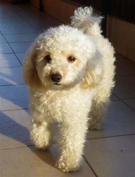 camila the toy poodle dogs daily puppy