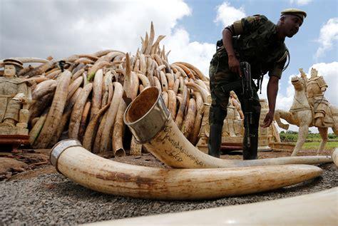 elephant ivory kenya to burn more than 100 tons of elephant tusks ivory