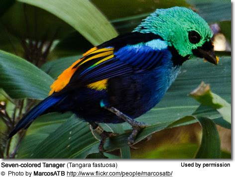 colored tanager seven colored tanagers of birds