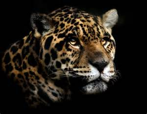 Images Of Jaguar Jaguar Pictures Pics Images And Photos For Your