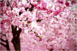 pink cherry blossom flowers photo 34658297 fanpop