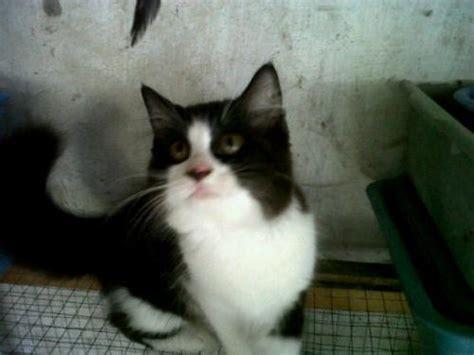 Keranjang Kucing Surabaya dijual kucing anggora jantan lucu usia 4 bulan