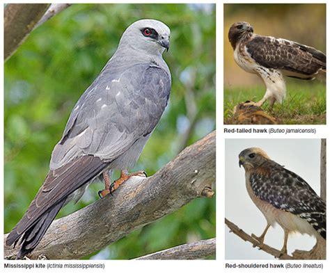 aces publications common birds of prey in alabama anr 1386