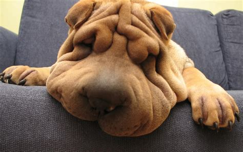 pictures of shar pei dogs shar pei breeds picture