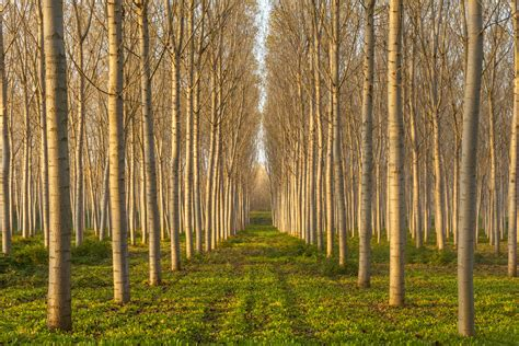 genetically modified trees could clean up paper industry